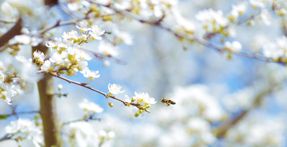 ABOUTストレスフリーのミツバチ_桜へ飛んでいくミツバチ