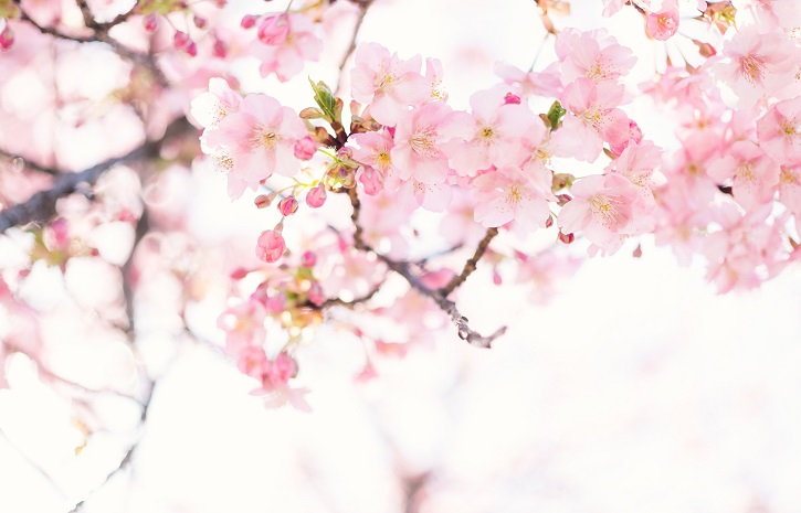ブログ_cherry_blossoms