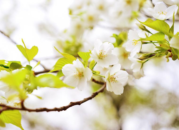 伊豆の大島桜