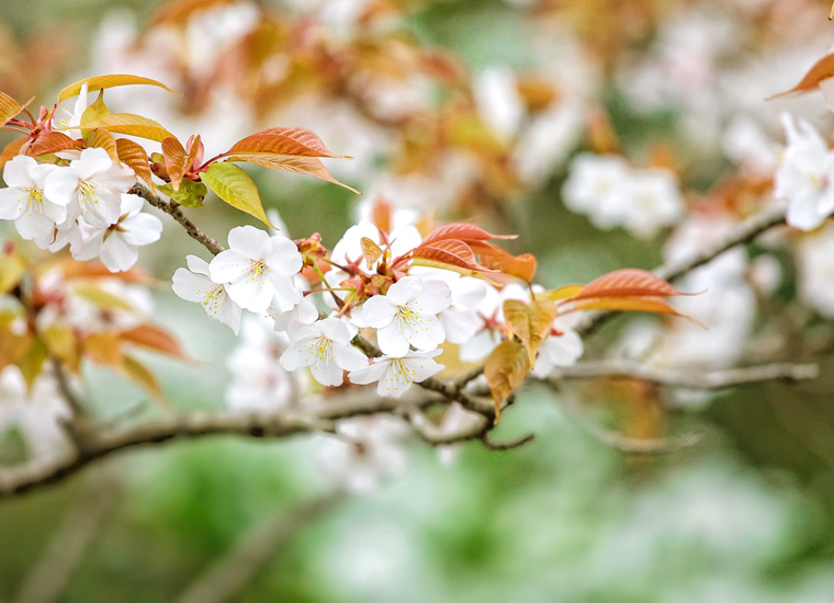 伊豆の山桜